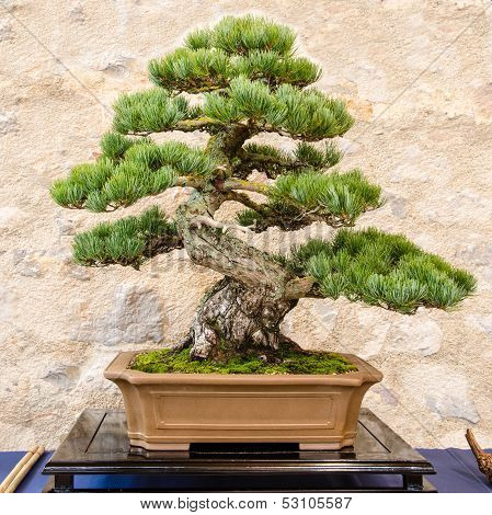Japanese Five Needle Pine (pinus Parvifolia) As Bonsai Tree