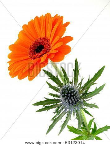 gerbera with thistle