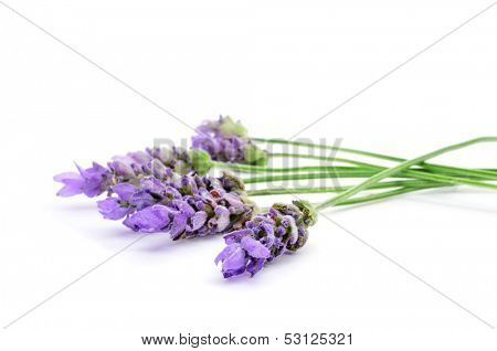 closeup of some colorful lavender flowers on a white background