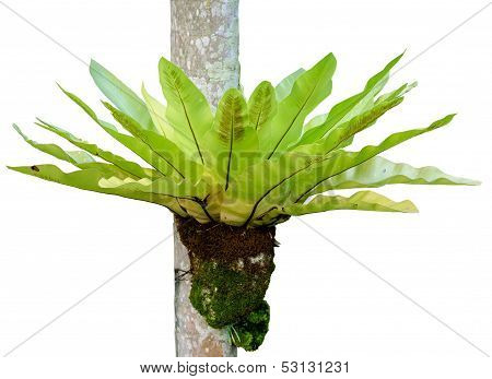 Fern Species Asplenium Nidus