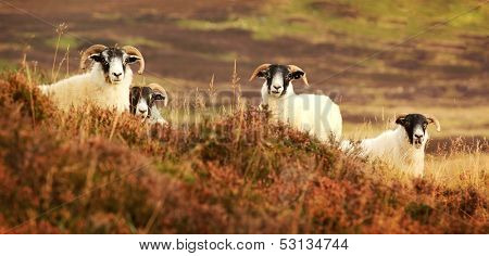 Four curious black face sheep in the Cairngorms, Scotland