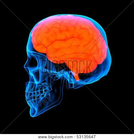 Human red brain X ray - side view