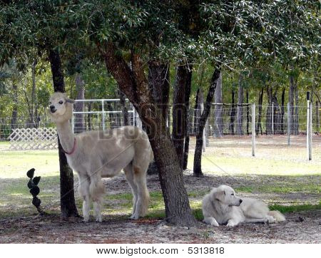 Alpaca With Great Pyrenees Guardian