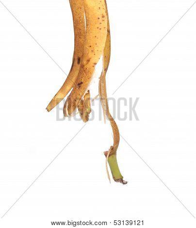 Banana peel is pendent