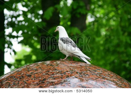 White Pigeons Siting On The Edge Of A Fountain