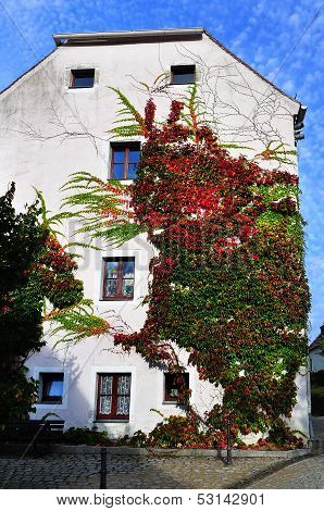 Colorful ivy on the wall.