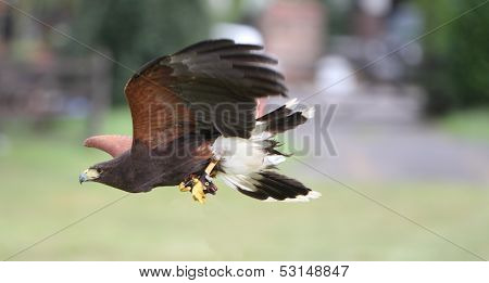Bay Winged Hawk Or Harris's Hawk