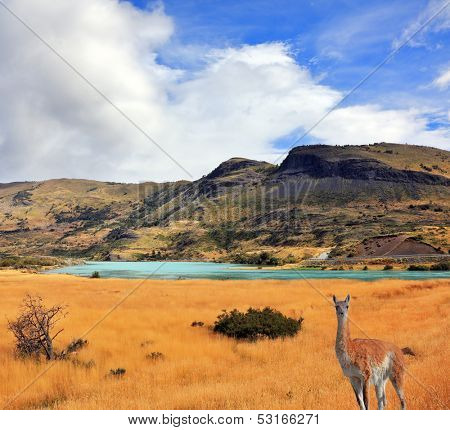 Curious guanaco watching the road. National Park Torres del Paine in southern Chile