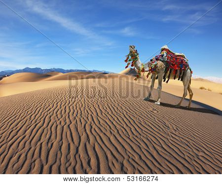 Camel Song. Dromedary yells at the sand dunes. Dromedary decorated with picturesque harness and bright red