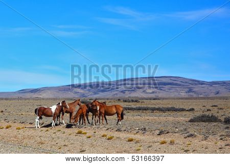 Argentina. The herd of magnificent bay mustangs grazing in the Patagonian prairie on a summer day