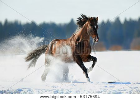Paard galoppeert in de winter