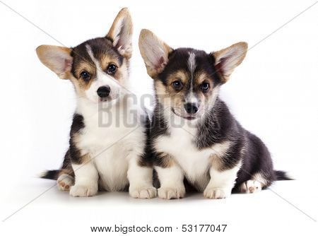 Pembroke Welsh Corgi puppy,  isolated on white background