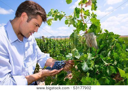 Winemaker oenologist checking Tempranillo wine grapes ready for harvest in Mediterranean