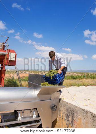 chardonnay wine grapes winemaker in destemmer crushing machine at Mediterranean