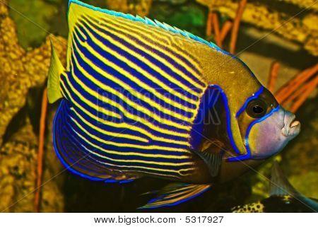 Emporer Anglefish Pomacanthus