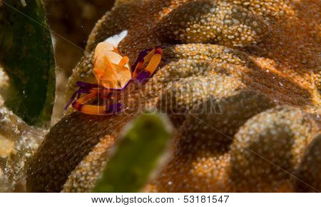 emperor shrimp on a sea cucumber