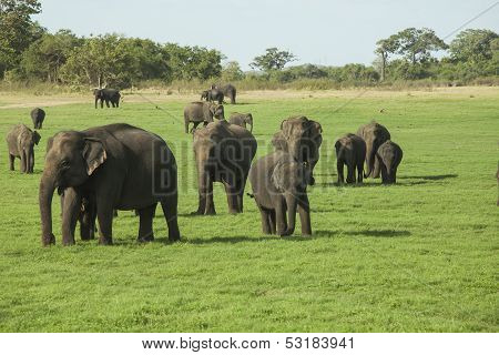 Elephants In Minneriya Np