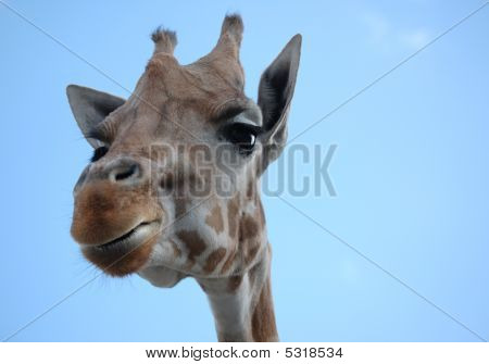 Nosey Giraffe Head Against Blue Sky