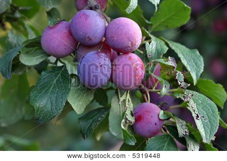 Purple Fruits Of A Stanley Prune Plum