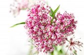 picture of swamps  - Swamp Milkweed Wild Flower in the Heart shape - JPG