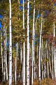 foto of colorado high country  - Tall Aspen trees in autumn time - JPG