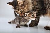 stock photo of mew  - Young 20 days old kitten with mother cat  - JPG