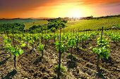 image of farmhouse  - Hill of Tuscany with Vineyard in the Chianti Region Sunset - JPG