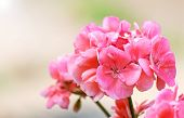 stock photo of geranium  - a pink geranium on a sunny day - JPG