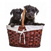 Miniature black schnauzer puppies posing in a basket on a white background