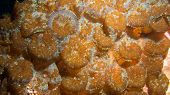 image of flatworm  - a colony of corallimorphs with parasitic flatworms - JPG