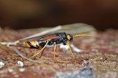 picture of wasp sting  - A Giant Wood Wasp in Its Natural Habitat