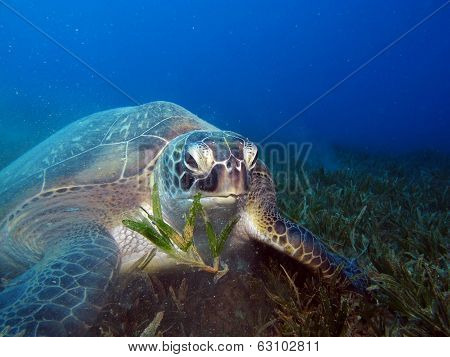Turtle and seagrass