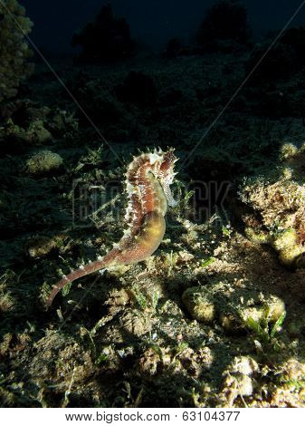 Swimming seahorse