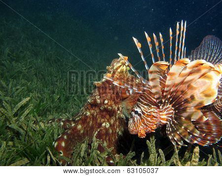 Lionfish and octopus