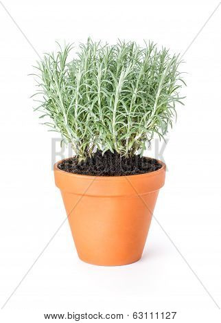 Italian immortelle in a clay pot on a white background