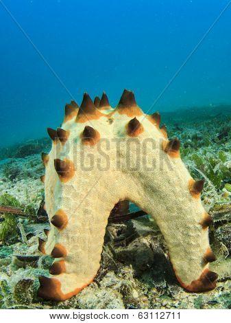 Starfish spawning underwater