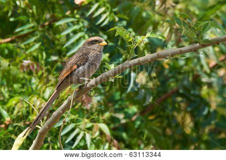 Yellow-billed Shrike Perched On A Branch