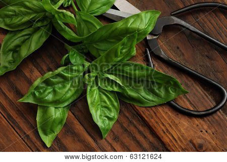 Fresh basil leaves with vintage scissors on rustic dark wood background.  Low key still life with directional natural lighting for effect.