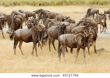 Wildebeests in the Masa Mara
