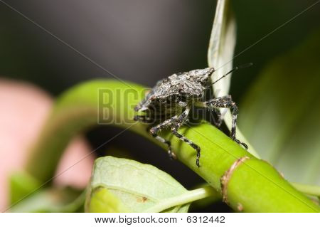 Shield Bug (hemiptera, Suborder Heteroptera)