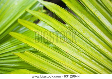Green leaf of palm tree closeup. nature