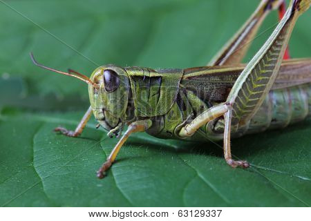 Grasshopper perching on green leaf