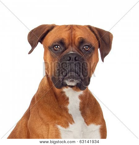 Brown dog bulldog isolated on white background