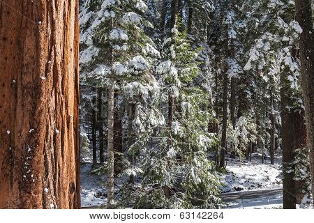 Giants Sequoias I