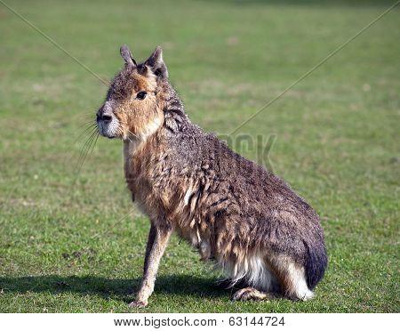 Mara, Big Patagonian Hare