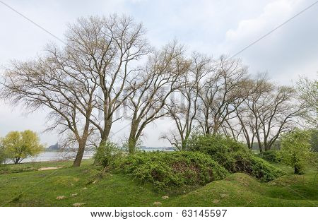 Large Trees With Young Leaves In Springtime