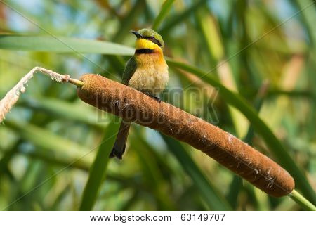 Little Bee-eater Perched On A Cattail