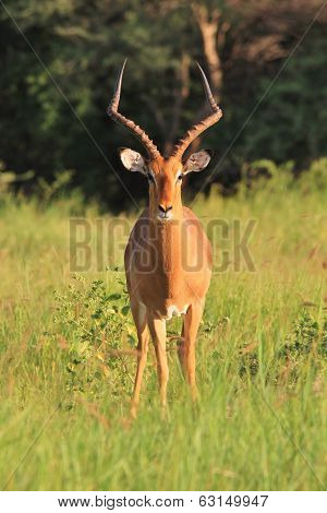 Impala Ram - Wildlife Background from Africa - Posing Red