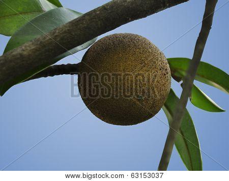 Isolated Sapodilla Plant