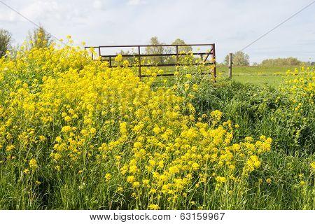 Colorful Flowering Field Mustard